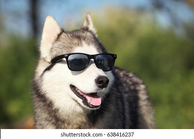 Dog with glasses. Sunglasses and dog breed Siberian husky.