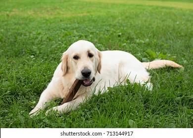 Dog gnaws a wooden stick in the grass, Golden Retriever