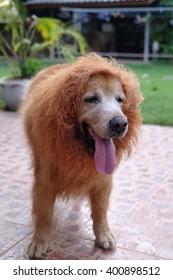 Dog Golden Lion wig.