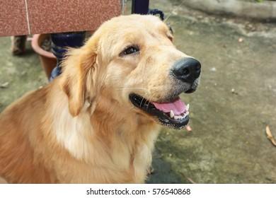 Dog , golden retriever