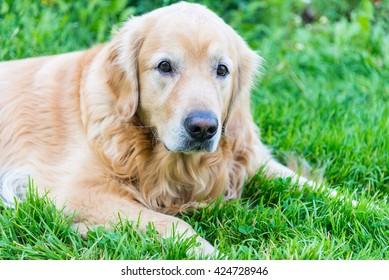 dog Golden Retriever  closeup