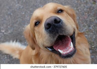 Dog (Golden retriever) having a big smile. Focus on mouth.
