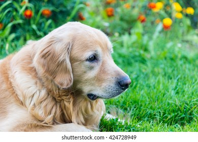 dog Golden Retriever  on a background of red and yellow flowers closeup