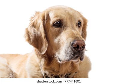 Dog Golden Retriever on white background