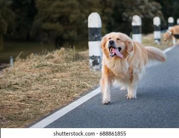 Dog golden retriever running on the street.
