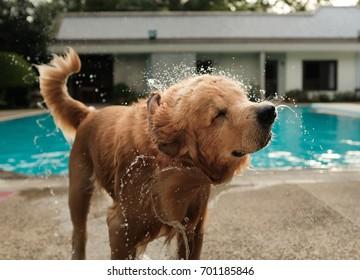 Dog (Golden Retriever) shaking water