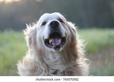 dog, golden retriver, animal, wallpaper dog