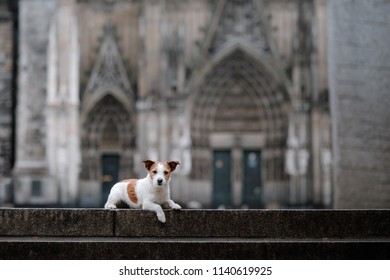 a dog at a Gothic building, a cathedral. A pet in the city. Traveling with Jack Russell