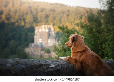 dog at Gothic the castle. Nova Scotia duck tolling Retriever in nature on the background of beautiful scenery. Travelling with a pet