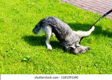 Dog in grass in Ciężkowice, Poland.