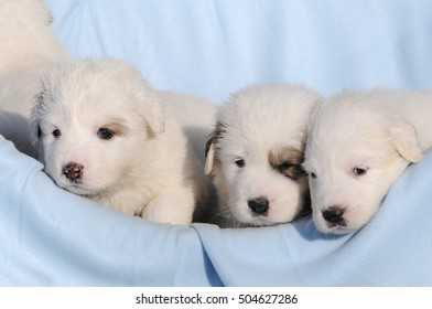 dog great pyrenees in the basket
