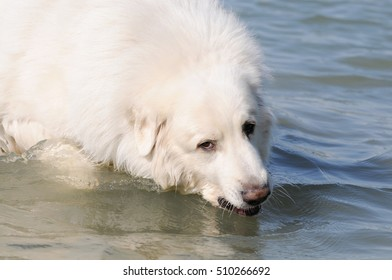 dog great pyrenees in the sea