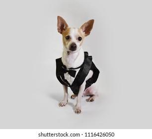 Dog groom in wedding attire, suit, best dog, best man, white isolated studio background