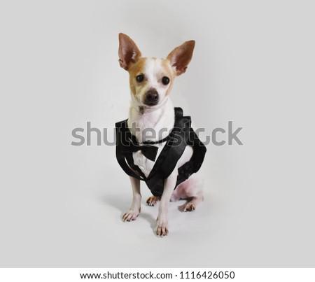 Dog Groom Wedding Attire Suit Best Stock Photo Edit Now 1116426050