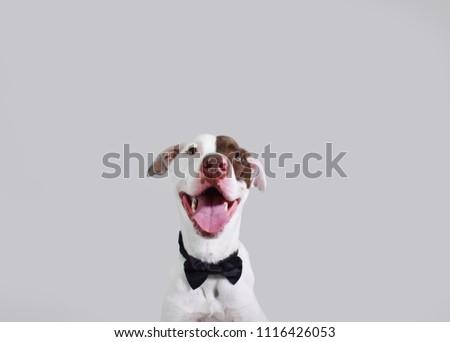 Dog Groom Wedding Attire Suit Best Stock Photo Edit Now 1116426053