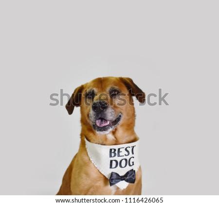 Dog Groom Wedding Attire Suit Best Stock Photo Edit Now 1116426065