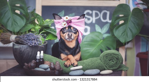 Dog grooming. Cute pet relaxing in spa wellness . Dog in a turban of a towel among the spa care items and plants. Funny concept grooming, washing and caring for animals