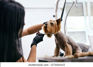 Dog Grooming At Pet Salon. Funny Dog Getting Haircut