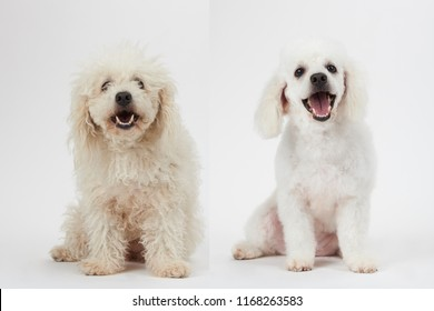 Dog grooming theme before and after result. White poodle dog before and after groom his hair