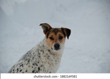 A dog guarding the house in the snow.  That's why he's man's best friend.  A mixed breed dog that looks like a Dalmatian,escaped from the shelter for abandoned animals. Feed the animals when it snows.