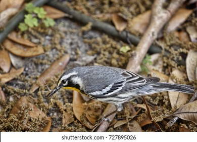 """""""Dog Hair for the Nest"""" It's nest building time. A pretty little Yellow-throated Warbler gathering up some of our dog's brushed-out hair from the ground."""