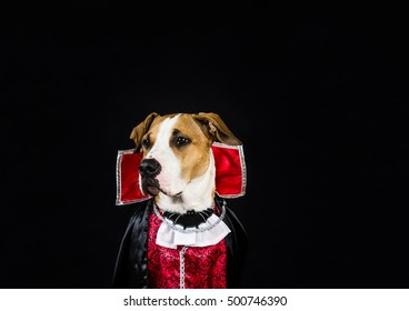 Dog in halloween costume of scary vampire posing in front of dark background