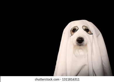 DOG HALLOWEEN GHOST COSTUME PARTY.  JACK RUSSELL COVERED WITH A BLANKET. ISOLATED AGAINTS BLACK BACKGROUND.