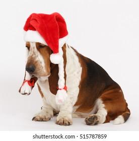 Dog, Happy New Year, Christmas Basset  sitting, isolated on white background
