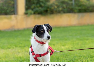 dog-harness-walking-park-260nw-192788949
