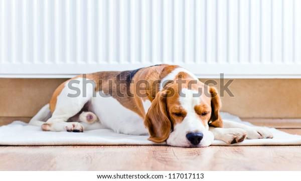 Der Hund ruht sich auf Holz bis zu einem Fußboden nahe einem warmen Heizkörper
