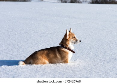 A dog has a walk in snowy winter fields