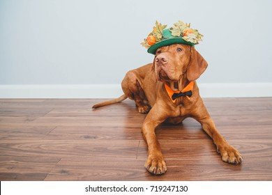 dog in hat for Thanksgiving