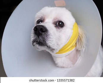 Dog have surgical wounds on the ears and have bandage on the head With collars to protect, Symptoms from the disease aural Hematoma or broken capillary disease, Pet Health care.