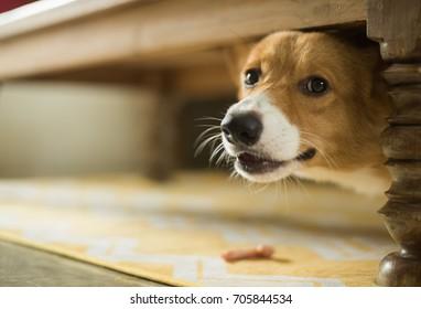 Dog having barf meal