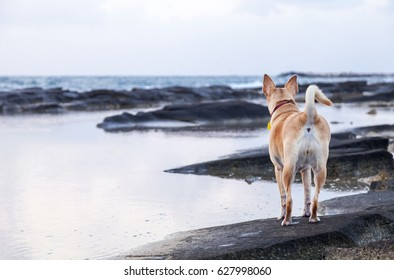 Dog having fun playing on the rocks at the beach at sunset.