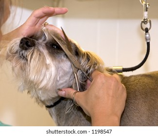 A dog having his eyebrows trimmed