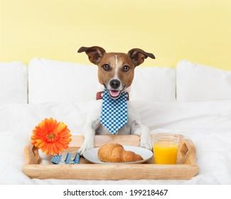 dog having nice breakfast in white bed