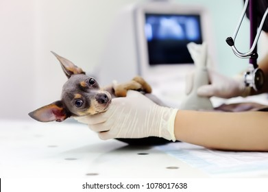 Dog having ultrasound scan in vet office. Little dog terrier in veterinary clinic