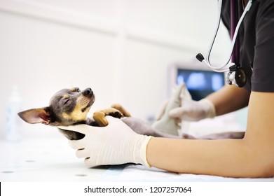 Dog having ultrasound scan in vet office. Little dog terrier in veterinary clinic