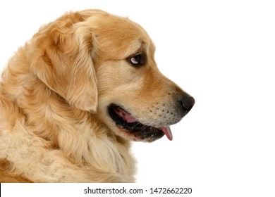 dog head of golden retriever in front of white