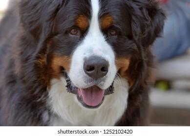 Dog head shot: mountain dog