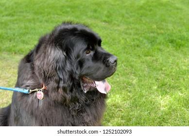 Dog head shot: Newfoundland