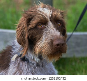 Dog head shot: Terrier