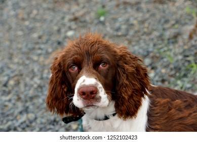 Dog head shot:spaniel pup