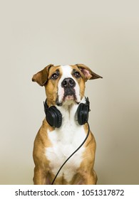 Dog with headphones as audiophile. Studio portrait of staffordshire terrier puppy posing in neutral background with earphones, concept of music fan