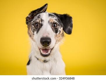 狗爆头在黄色背景