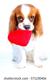 Dog with heart. Cavalier king charles spaniel valentine 's day illustration. Plush red heart with spaniel puppy.  Happy valentine's day!  Valentines day dog concept. Blenheim cavalier puppy in studio.