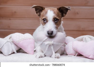 dog with hearts. Valentine's Day. February 14 with a pet. Jack Russell Terrier