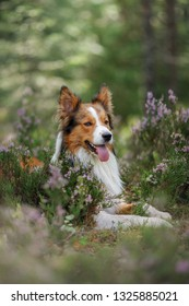 dog in heather colors. Nova Scotia Duck Tolling Retriever in the forest in nature. Life with a pet