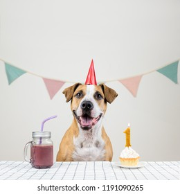Dog and her birthday treat in form of a festive cake and a drink. Cute puppy in a party hat posing in decorated room with a muffin